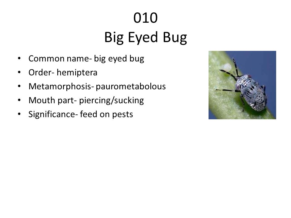 010 Big Eyed Bug Common name- big eyed bug Order- hemiptera