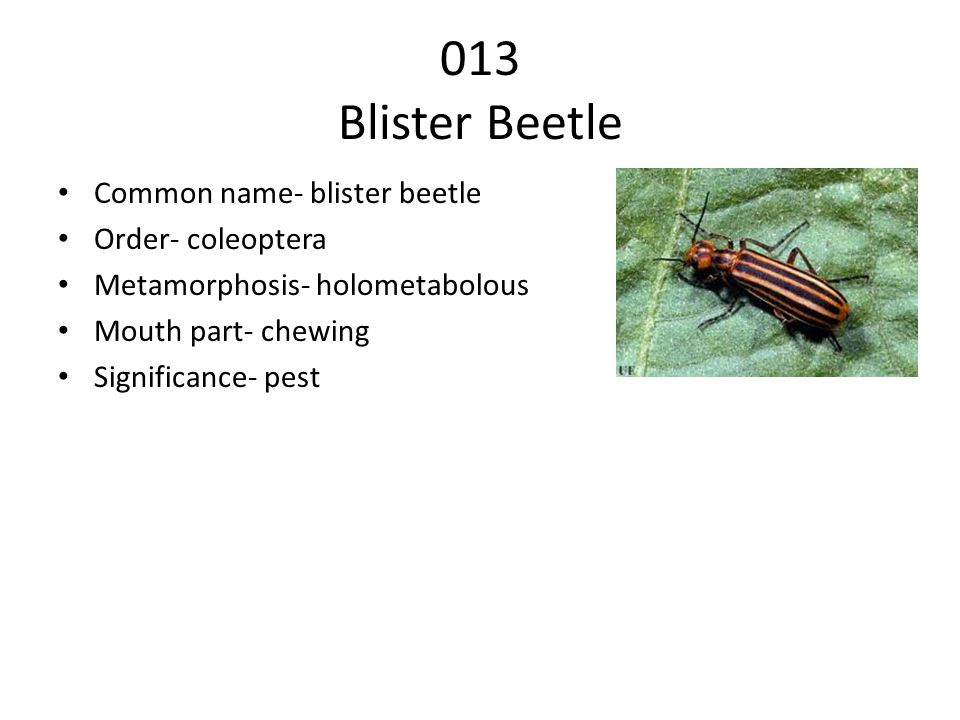 013 Blister Beetle Common name- blister beetle Order- coleoptera