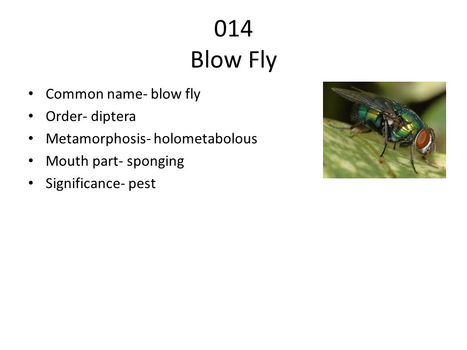 014 Blow Fly Common name- blow fly Order- diptera