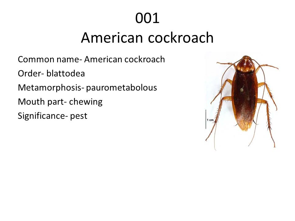 001 American cockroach Common name- American cockroach Order- blattodea Metamorphosis- paurometabolous Mouth part- chewing Significance- pest