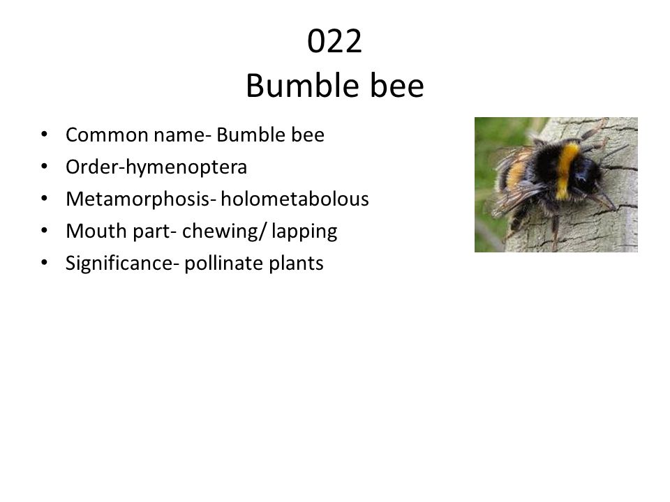 022 Bumble bee Common name- Bumble bee Order-hymenoptera