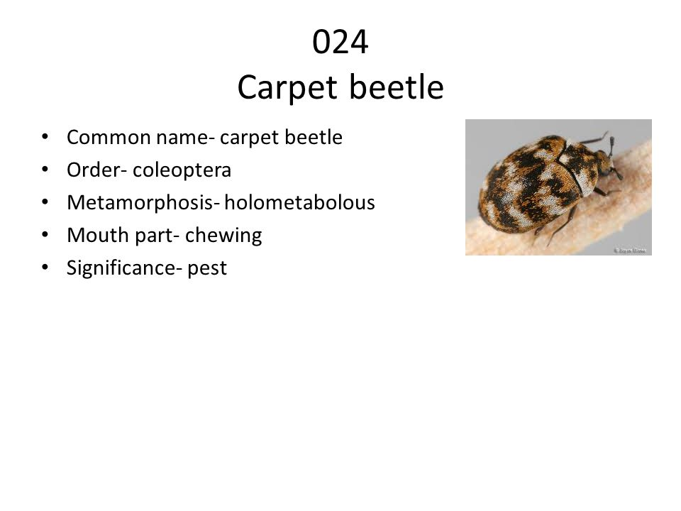024 Carpet beetle Common name- carpet beetle Order- coleoptera
