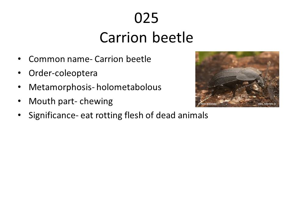 025 Carrion beetle Common name- Carrion beetle Order-coleoptera