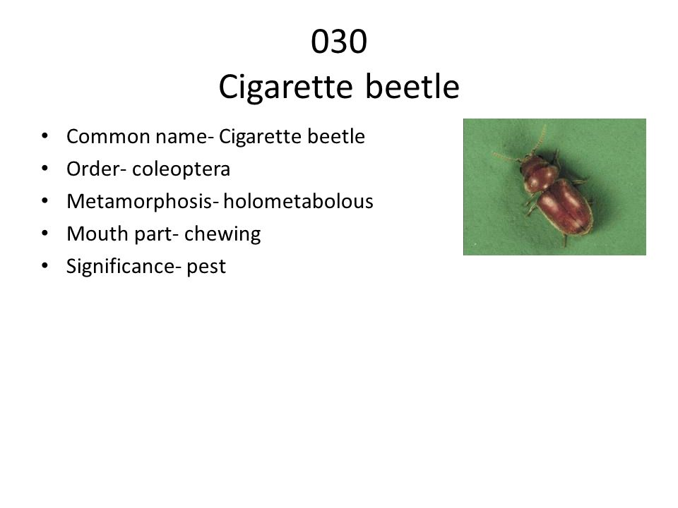 030 Cigarette beetle Common name- Cigarette beetle Order- coleoptera