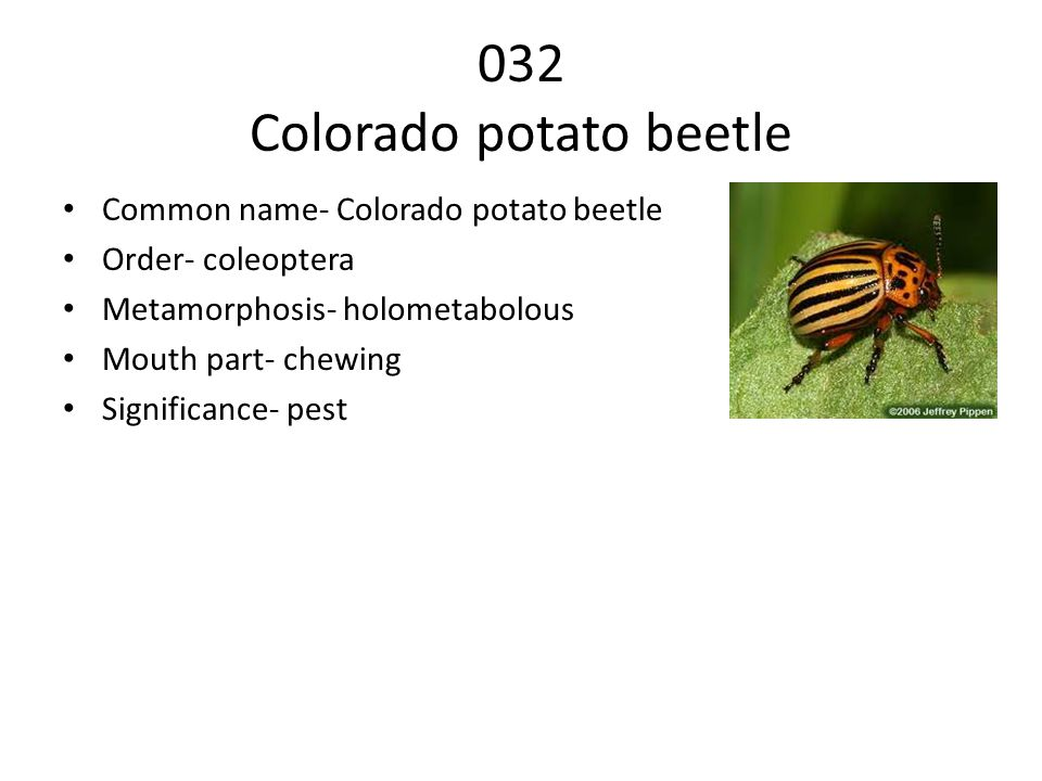 032 Colorado potato beetle