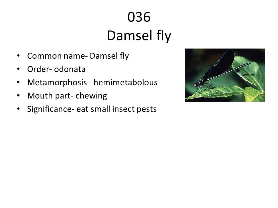 036 Damsel fly Common name- Damsel fly Order- odonata