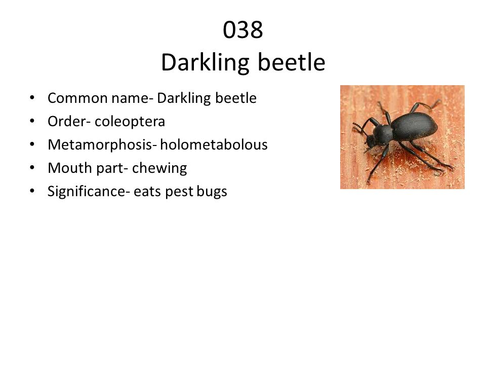 038 Darkling beetle Common name- Darkling beetle Order- coleoptera