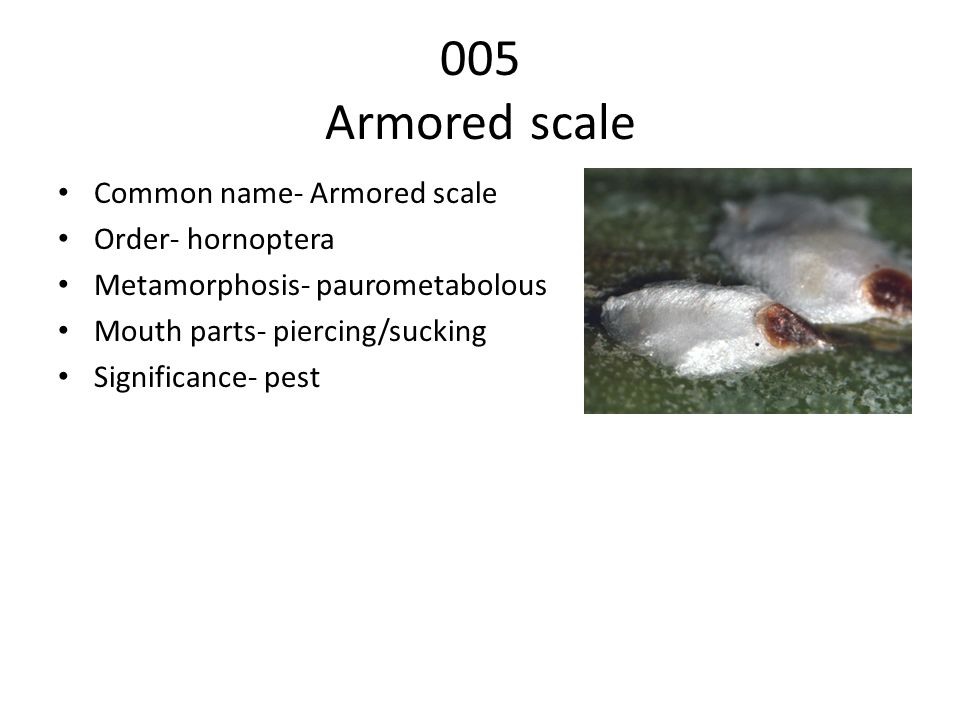 005 Armored scale Common name- Armored scale Order- hornoptera