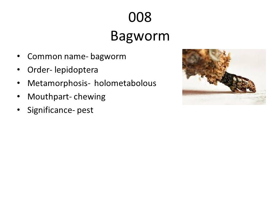 008 Bagworm Common name- bagworm Order- lepidoptera
