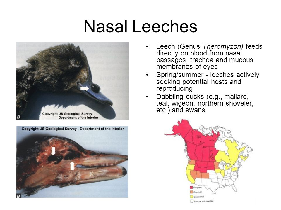 Nasal Leeches Leech (Genus Theromyzon) feeds directly on blood from nasal passages, trachea and mucous membranes of eyes.
