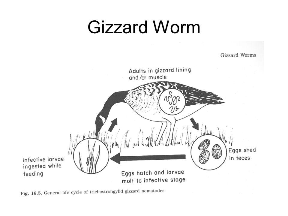 Gizzard Worm