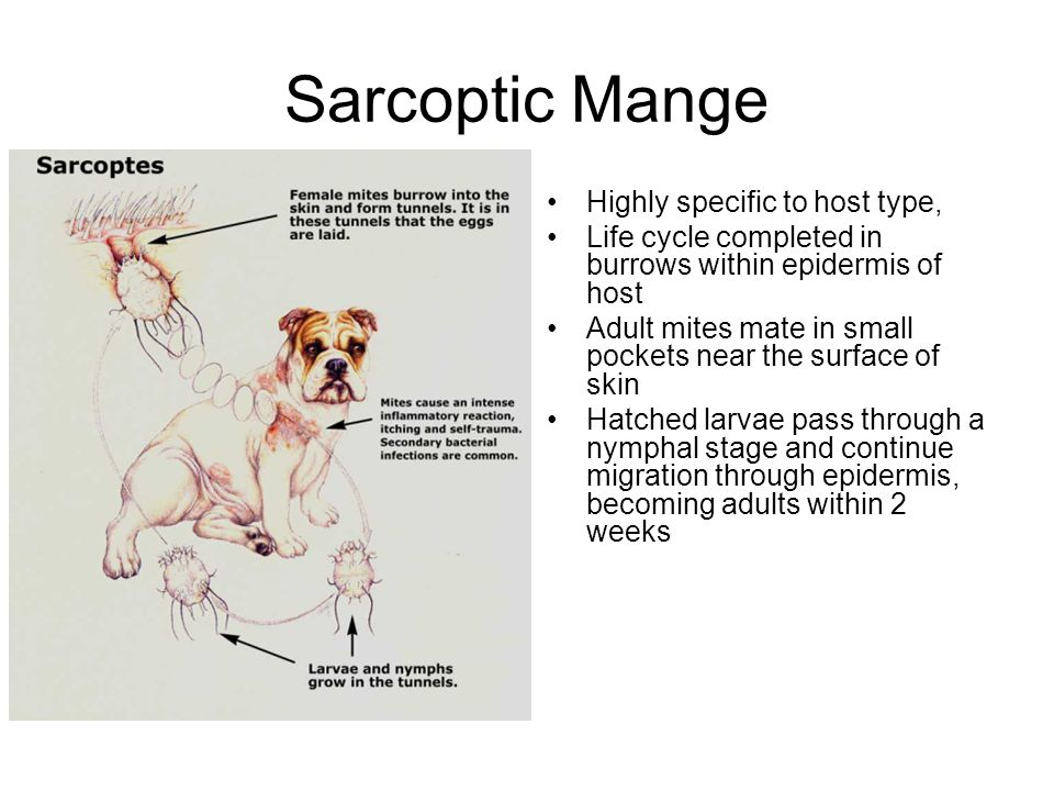 Sarcoptic Mange Highly specific to host type,