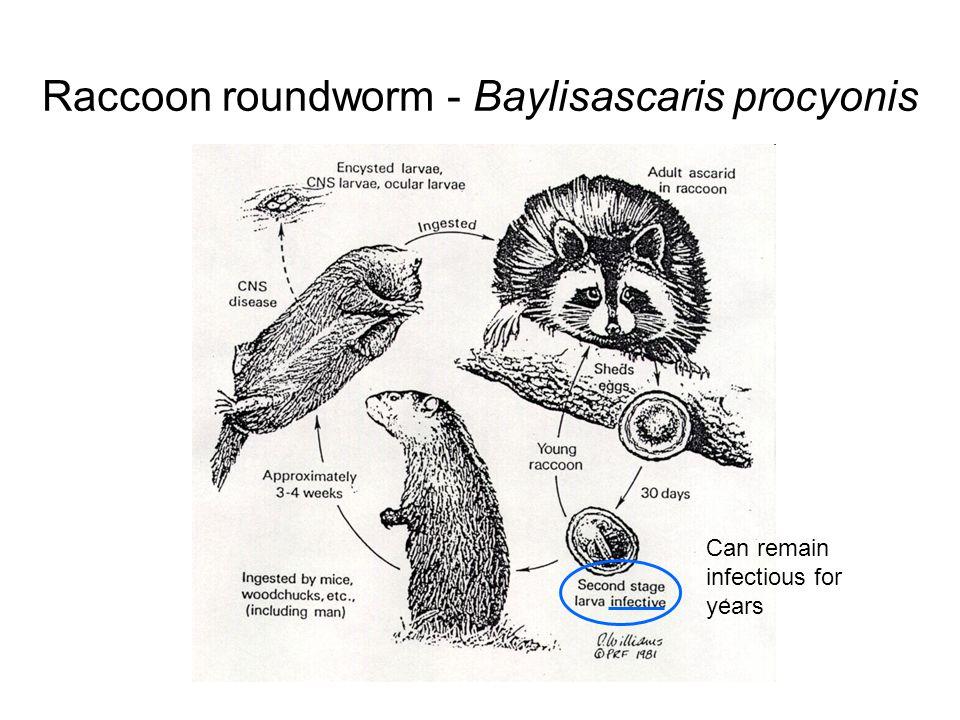 Raccoon roundworm - Baylisascaris procyonis