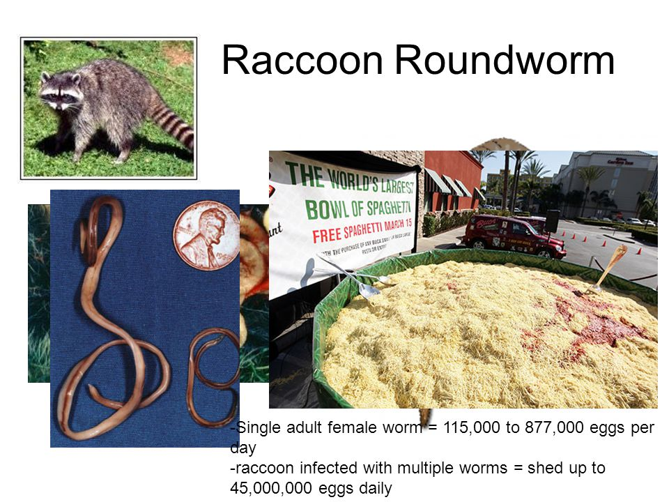 Raccoon Roundworm Single adult female worm = 115,000 to 877,000 eggs per day.