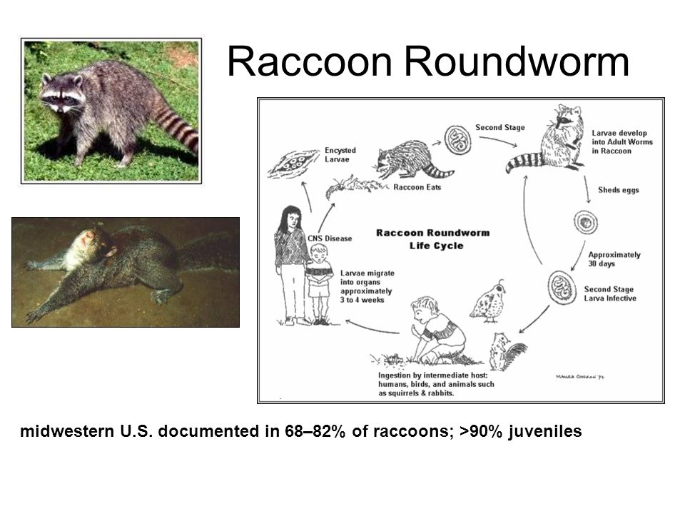 Raccoon Roundworm midwestern U.S. documented in 68–82% of raccoons; >90% juveniles
