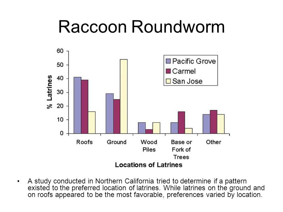 Raccoon Roundworm