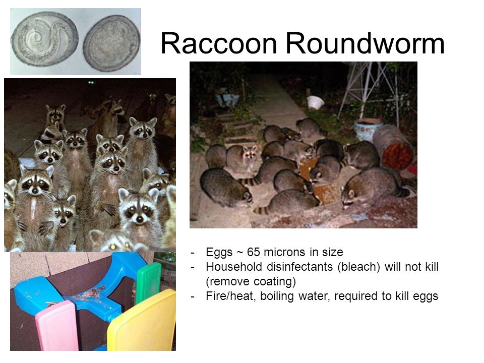 Raccoon Roundworm Eggs ~ 65 microns in size
