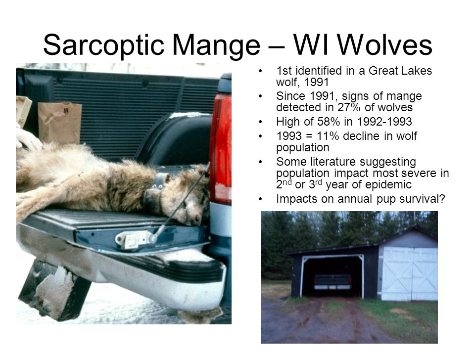 Sarcoptic Mange – WI Wolves
