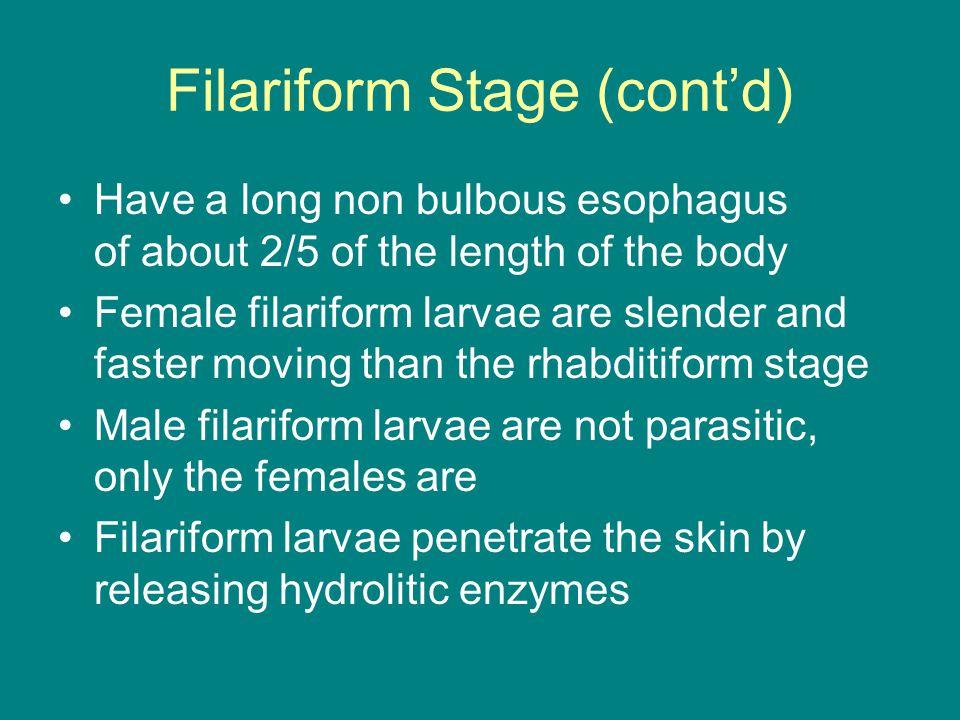Filariform Stage (cont'd)