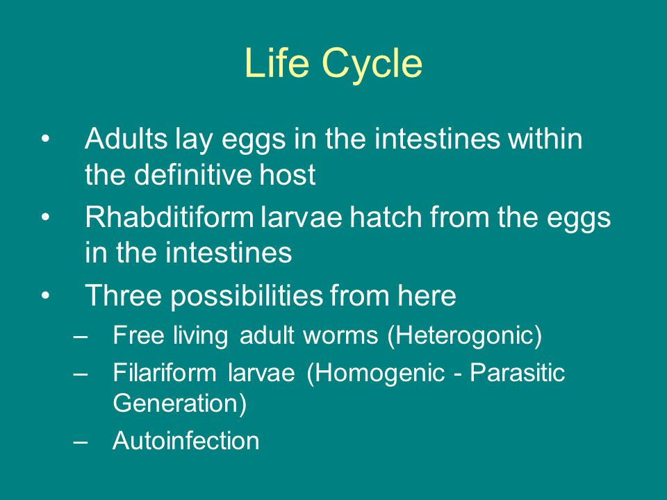Life Cycle Adults lay eggs in the intestines within the definitive host. Rhabditiform larvae hatch from the eggs in the intestines.