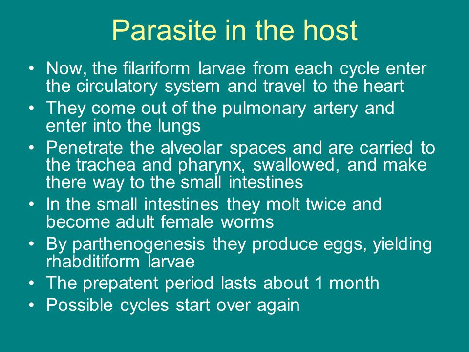 Parasite in the host Now, the filariform larvae from each cycle enter the circulatory system and travel to the heart.
