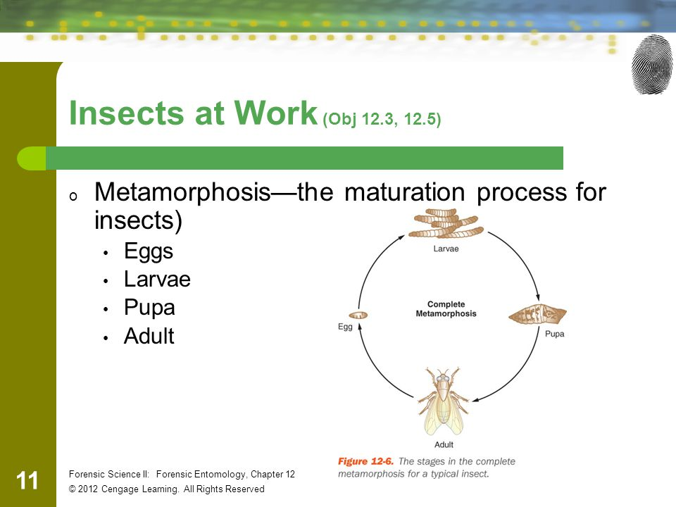 Insects at Work (Obj 12.3, 12.5) Metamorphosis—the maturation process for insects) Eggs. Larvae. Pupa.