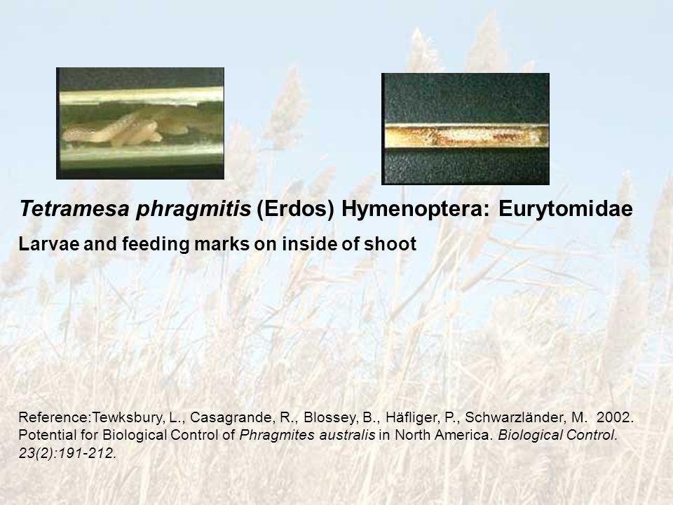Tetramesa phragmitis (Erdos) Hymenoptera: Eurytomidae