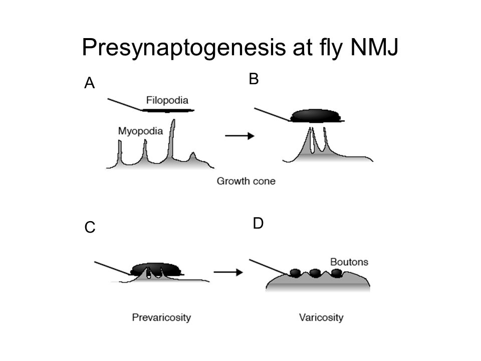 Presynaptogenesis at fly NMJ