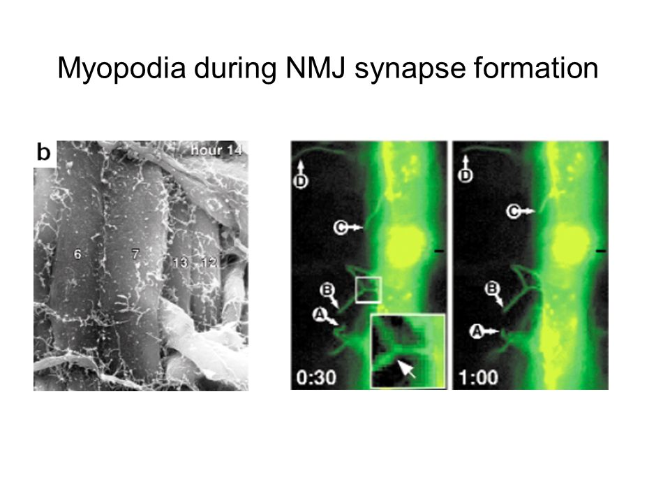Myopodia during NMJ synapse formation