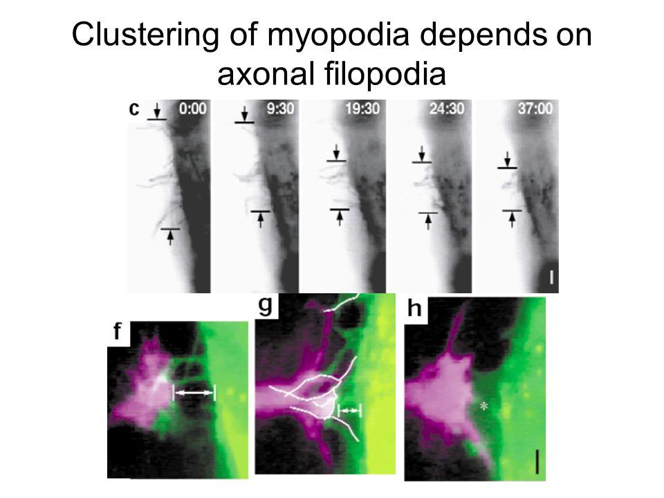 Clustering of myopodia depends on axonal filopodia