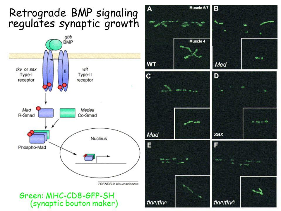 Retrograde BMP signaling regulates synaptic growth