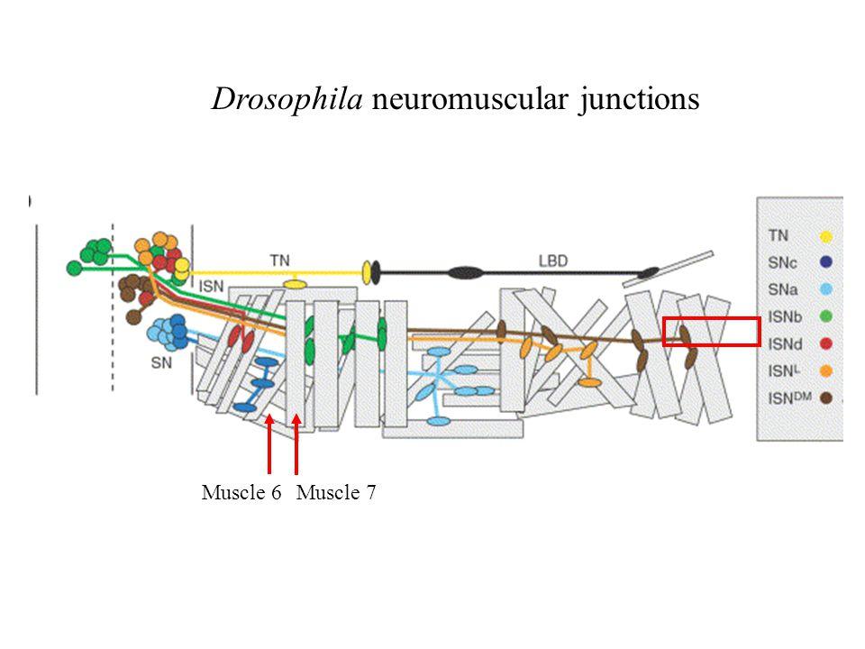 Drosophila neuromuscular junctions