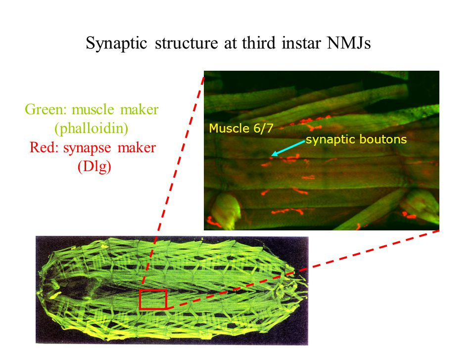 Synaptic structure at third instar NMJs