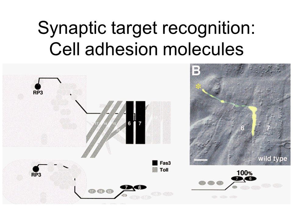 Synaptic target recognition: Cell adhesion molecules