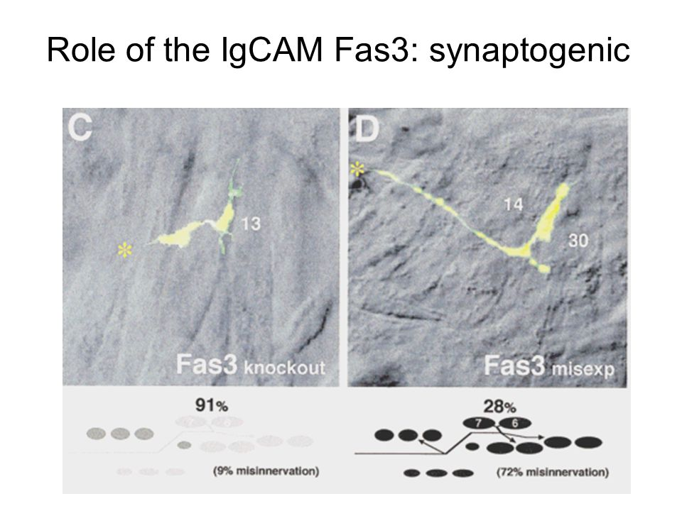 Role of the IgCAM Fas3: synaptogenic
