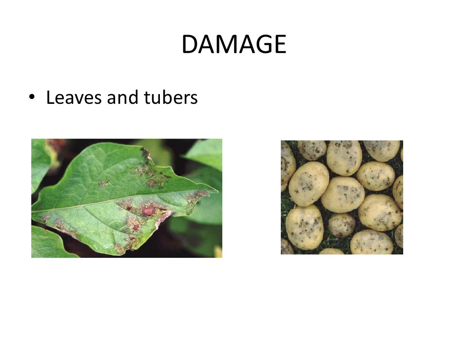 DAMAGE Leaves and tubers