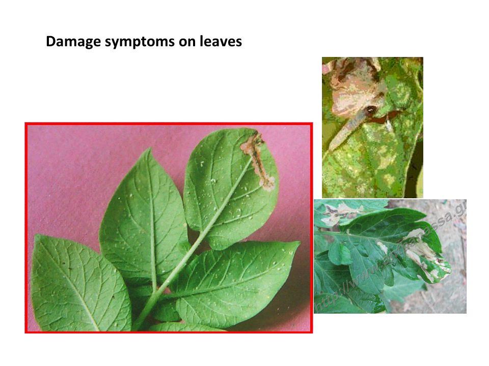 Damage symptoms on leaves