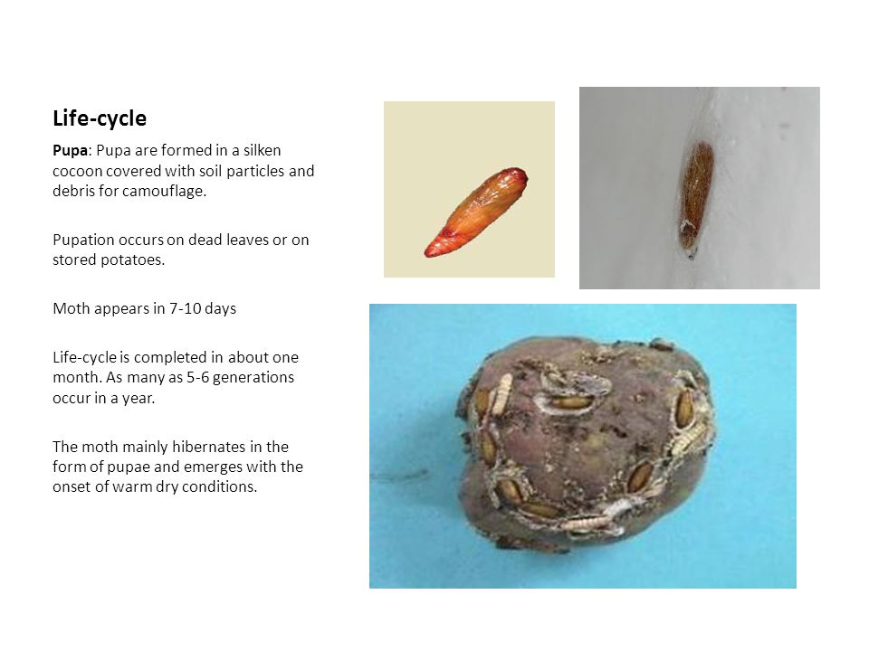 Life-cycle Pupa: Pupa are formed in a silken cocoon covered with soil particles and debris for camouflage.