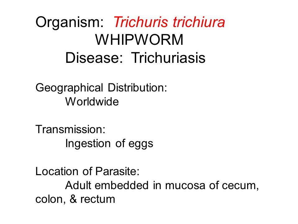 Organism: Trichuris trichiura WHIPWORM Disease: Trichuriasis
