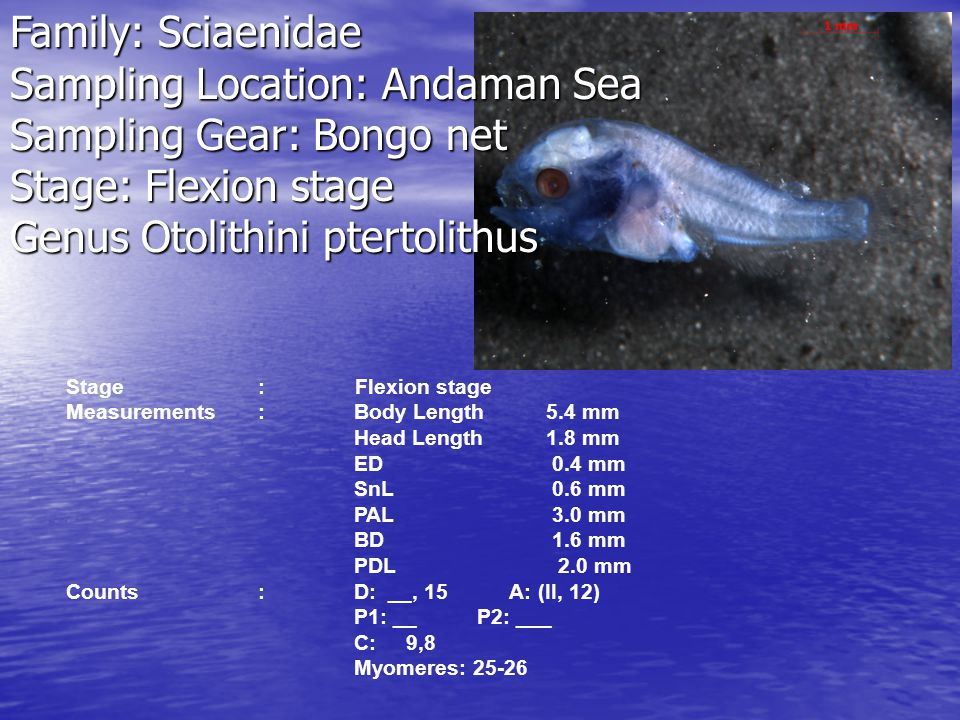 Genus Otolithini ptertolithus