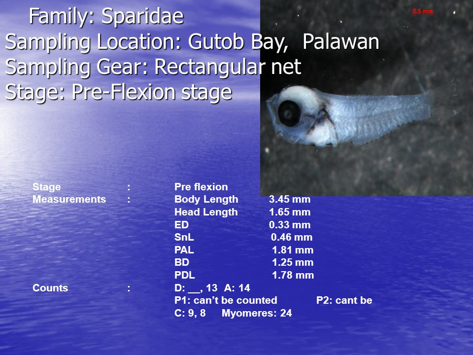 Sampling Location: Gutob Bay, Palawan Sampling Gear: Rectangular net