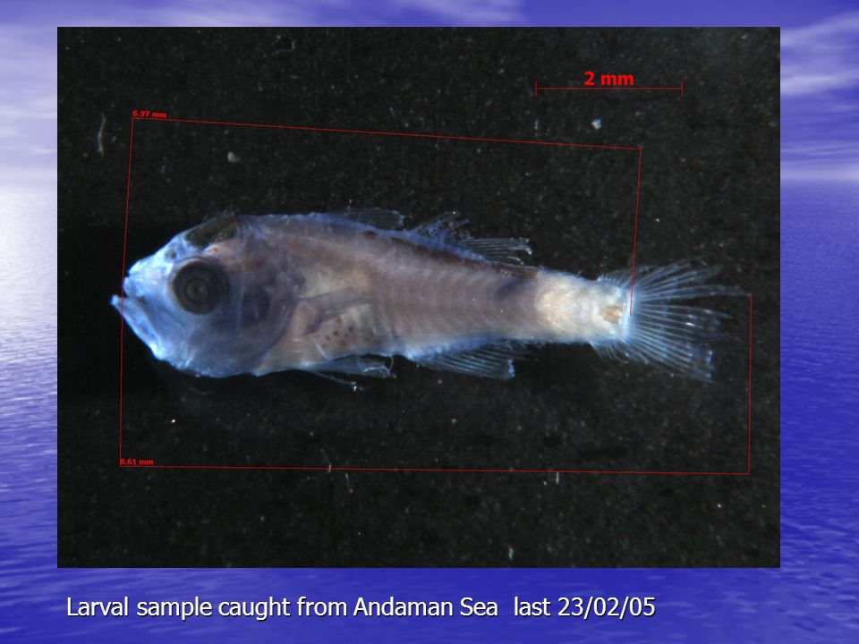 Larval sample caught from Andaman Sea last 23/02/05