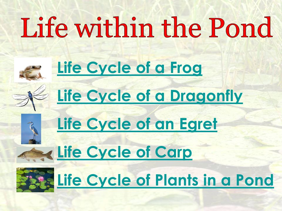 Life Cycle of a Dragonfly Life Cycle of an Egret Life Cycle of Carp