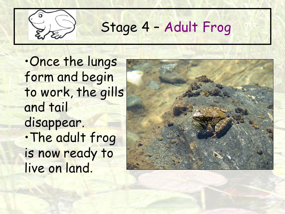 Stage 4 – Adult Frog Once the lungs form and begin to work, the gills and tail disappear.