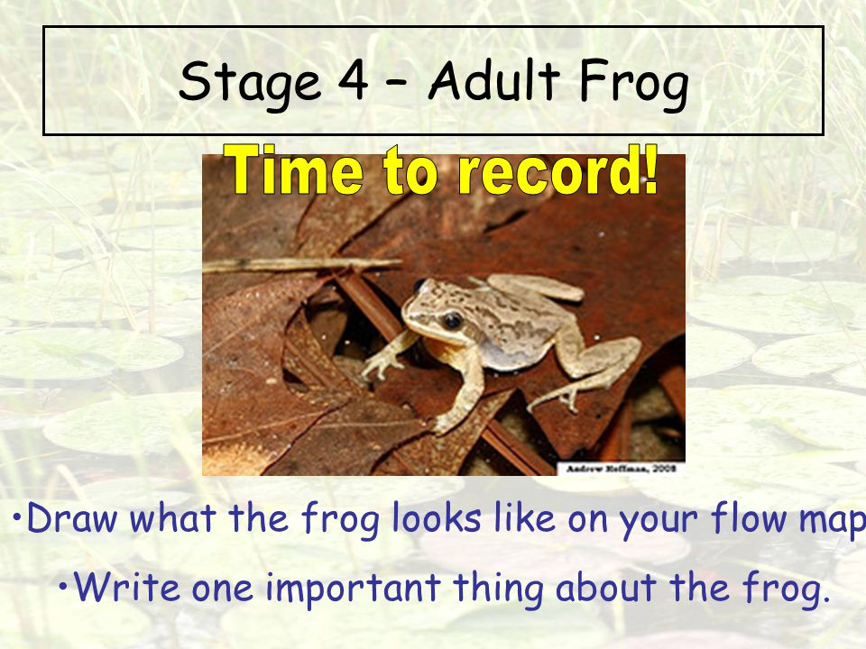 Stage 4 – Adult Frog Time to record!