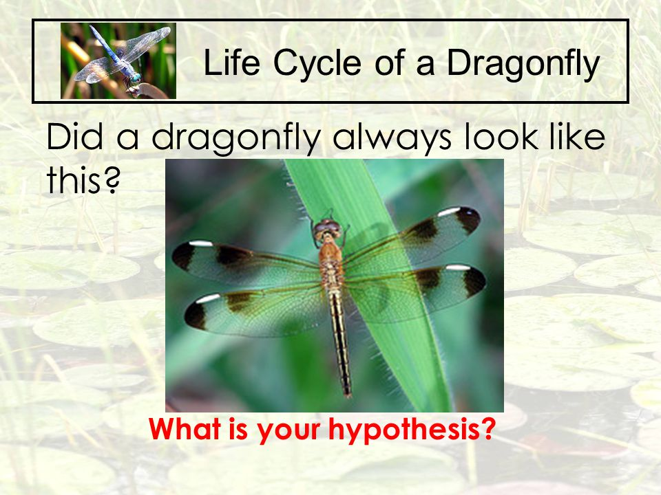 Life Cycle of a Dragonfly