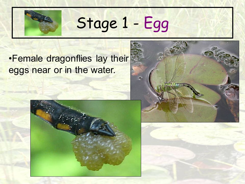 Stage 1 - Egg Female dragonflies lay their eggs near or in the water.