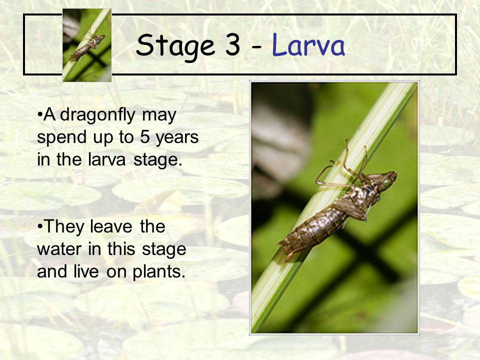 Stage 3 - Larva A dragonfly may spend up to 5 years in the larva stage.