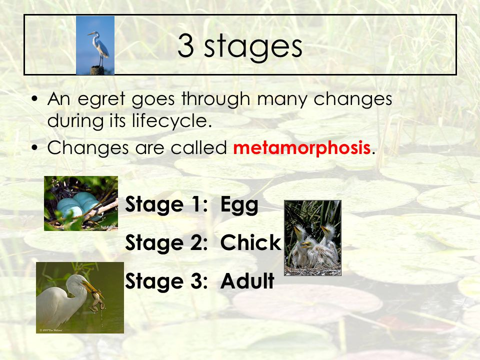 3 stages Stage 1: Egg Stage 2: Chick Stage 3: Adult