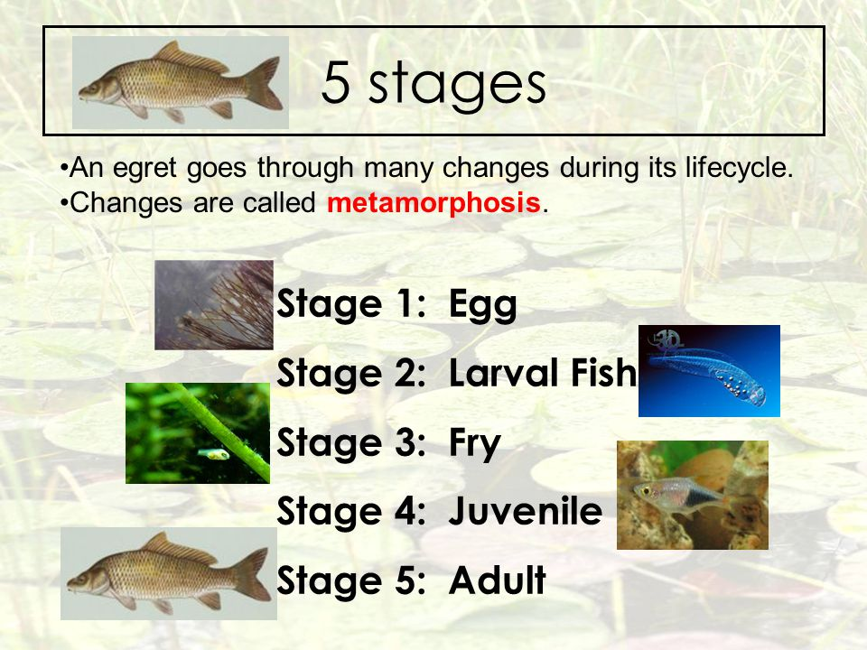 5 stages Stage 1: Egg Stage 2: Larval Fish Stage 3: Fry